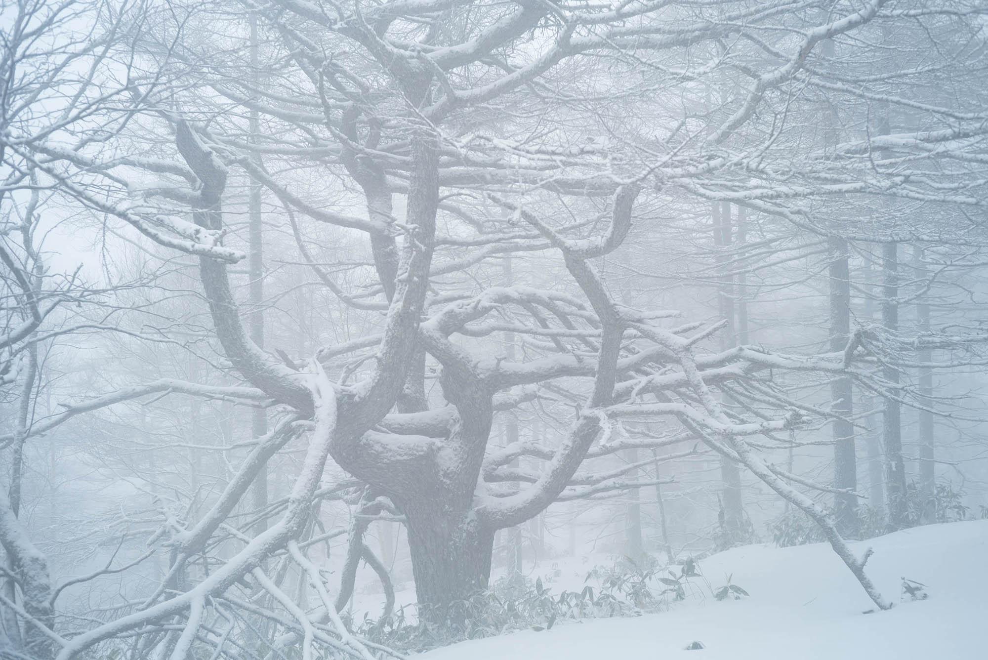 落葉松林 雪景