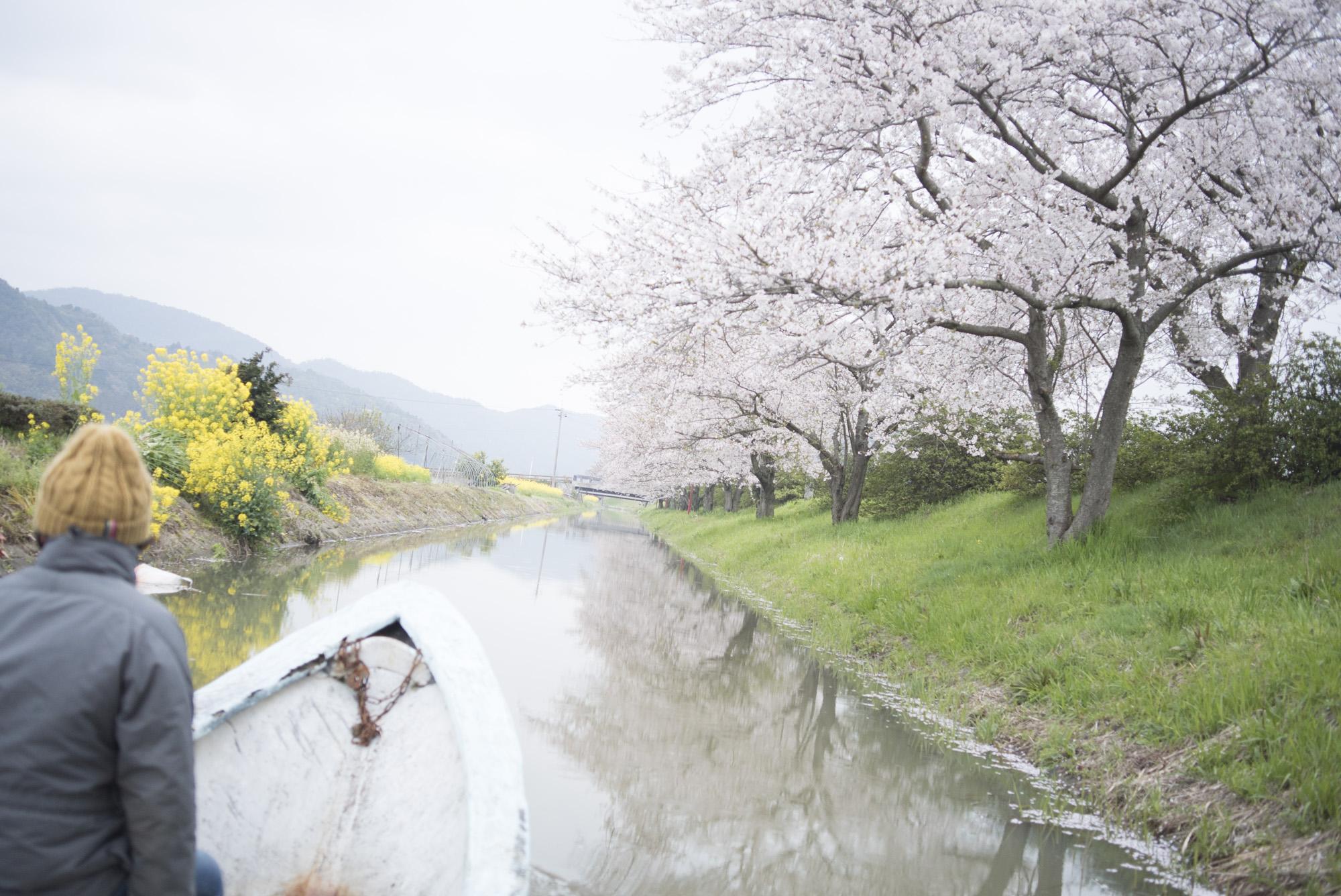 八幡堀 菜の花と桜