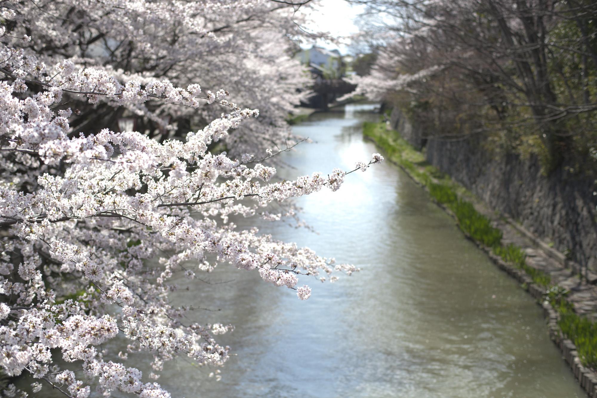 日牟禮八幡 八幡堀の桜