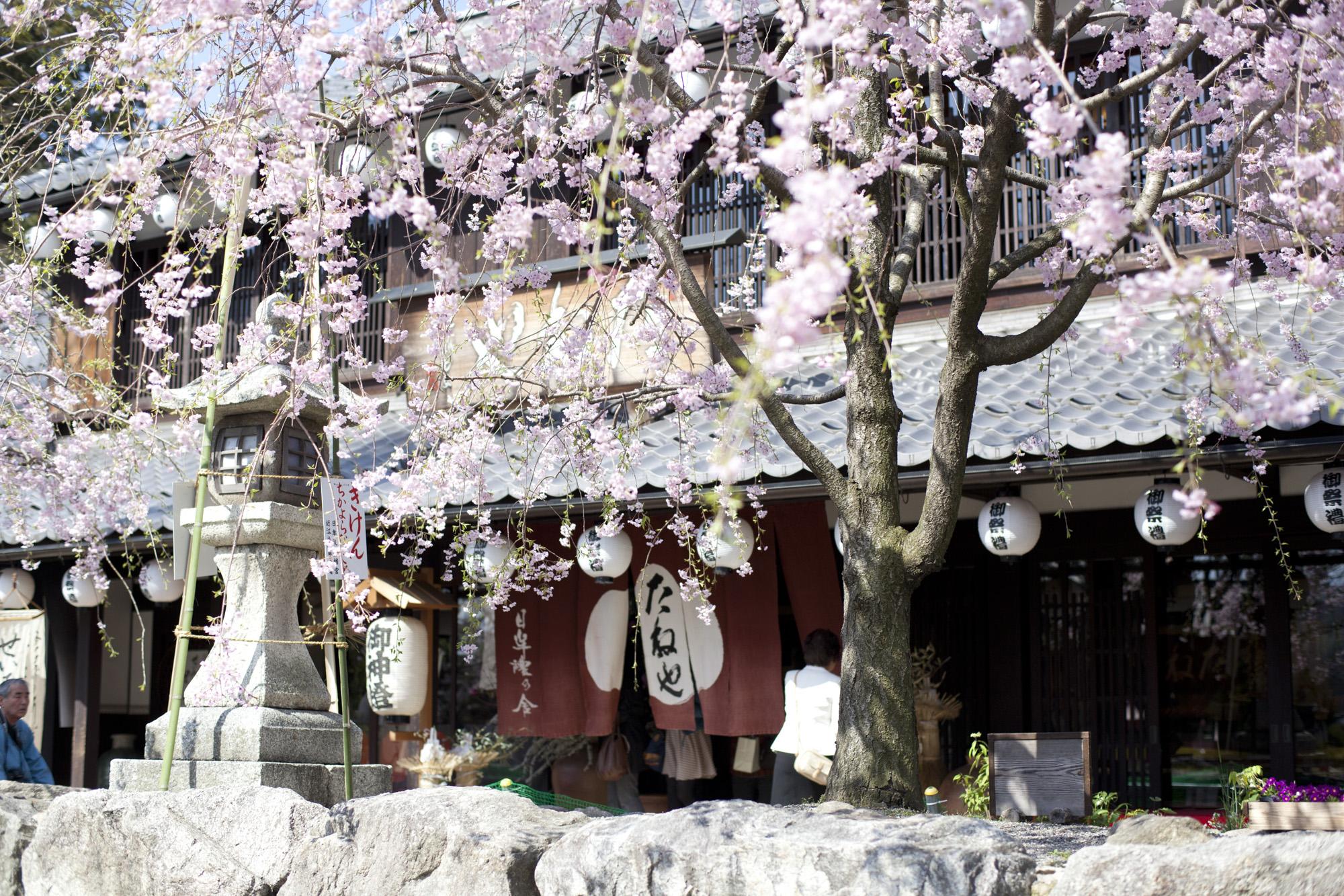 日牟禮八幡 境内の桜